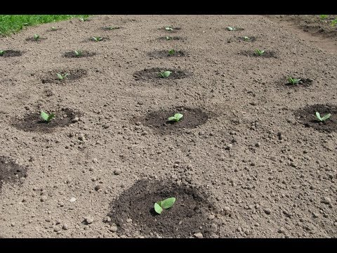 посадка тыквы семенами в открытый грунт || посадка тыквы семенами в открытый грунт видео