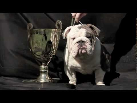 bulldog utube blue english bulldog champion blue bulldogs youtube 8323