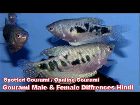 Gourami Fish Male And Female Diffrences In Hindi
