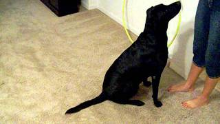 Black Lab Dog Tricks