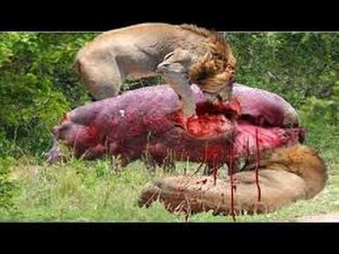 AnimalX : Most Amazing Wild Animals Attacks | Craziest Animal Fights1
