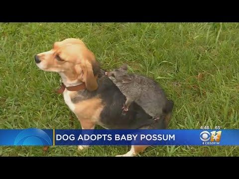 Jeff K - Beagle Adopts Baby Possum