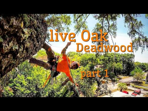 (Raw)The one job where i  dead-wooded a large Live oak. part 1