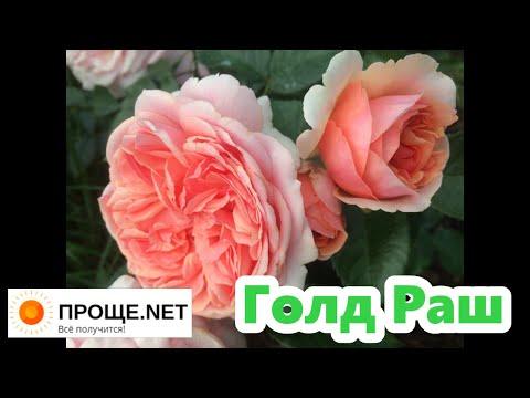 Розы в моём саду 2020. Роза Голд Раш - фарфоровое чудо! Gold Rush (2010)