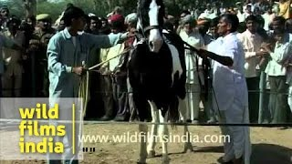 Indian Horse show at the Pushkar mela
