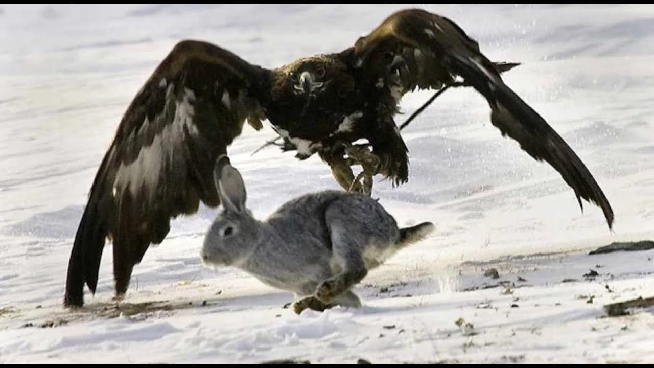 حيوانات مفترسة - اقوي مشاهد افتراس الحيوانات الصقور المجنونة ll عالم الوحوش القوة والافتراس