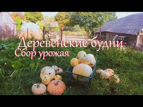 Время собирать урожай // Огородный влог