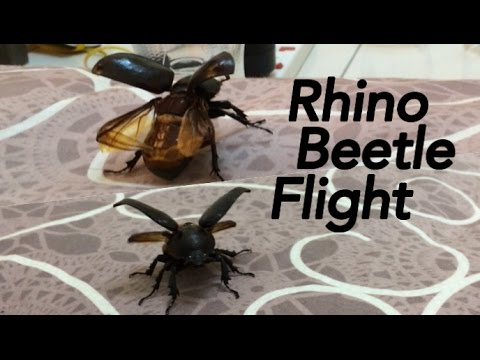 Flying Rhino Beetle With Man Of Steel Ost Flight