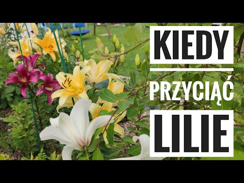 Lilie drzewiaste kiedy