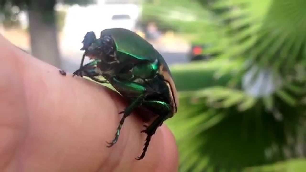 Figeater Beetle/Mayate . - YouTube
