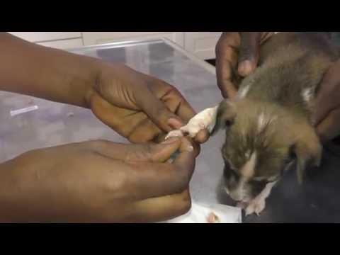 Gunjur Puppies: Abscess Opening