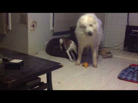 Pyrenean Mountain Dog v Whippet