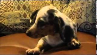 Male Chocolate Dapple Piebald Dachshund Puppy