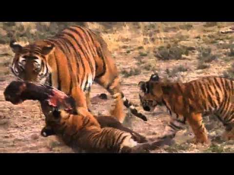Lion vs Tiger: Award Winning Documentary 2011: Last Chance Tiger