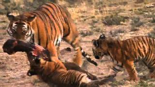 Lion vs Tiger: Award Winning Documentary 2011: Last Chance Tiger