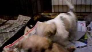 Shih Tzu X Pups Winnipeg,manitoba
