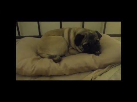Our Spoiled Pug's Bedtime Routine