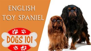 Dogs 101 - English Toy Spaniel  - Top Dog Facts About the English Toy Spaniel