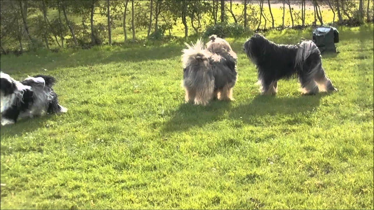 Tibetaanse Terrier wandeling - YouTube
