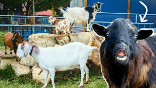 🤪THIS FUNNY FACE tells us which goat is PREGNANT (secret code of goat breeding)