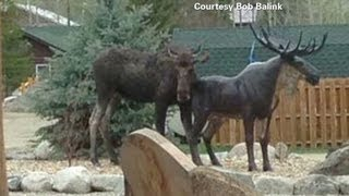 This moose loves ... a statue?