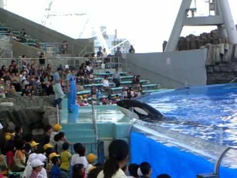A killer whale attacks a trainer