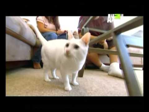 Gatos ABC Felino Khao Manee