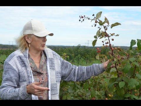 """Удобрение и обработка малины от вредителей. Питомник """"Ягодное королевство"""""""