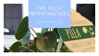 The Pilea Peperomioides (Chinese Money Plant) - Repot & Care Tips