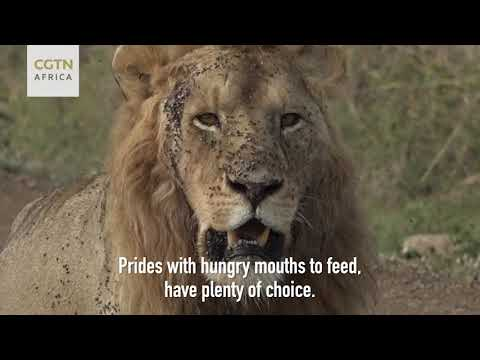 Wild Wonderland Daily Highlights: The big cats of Africa