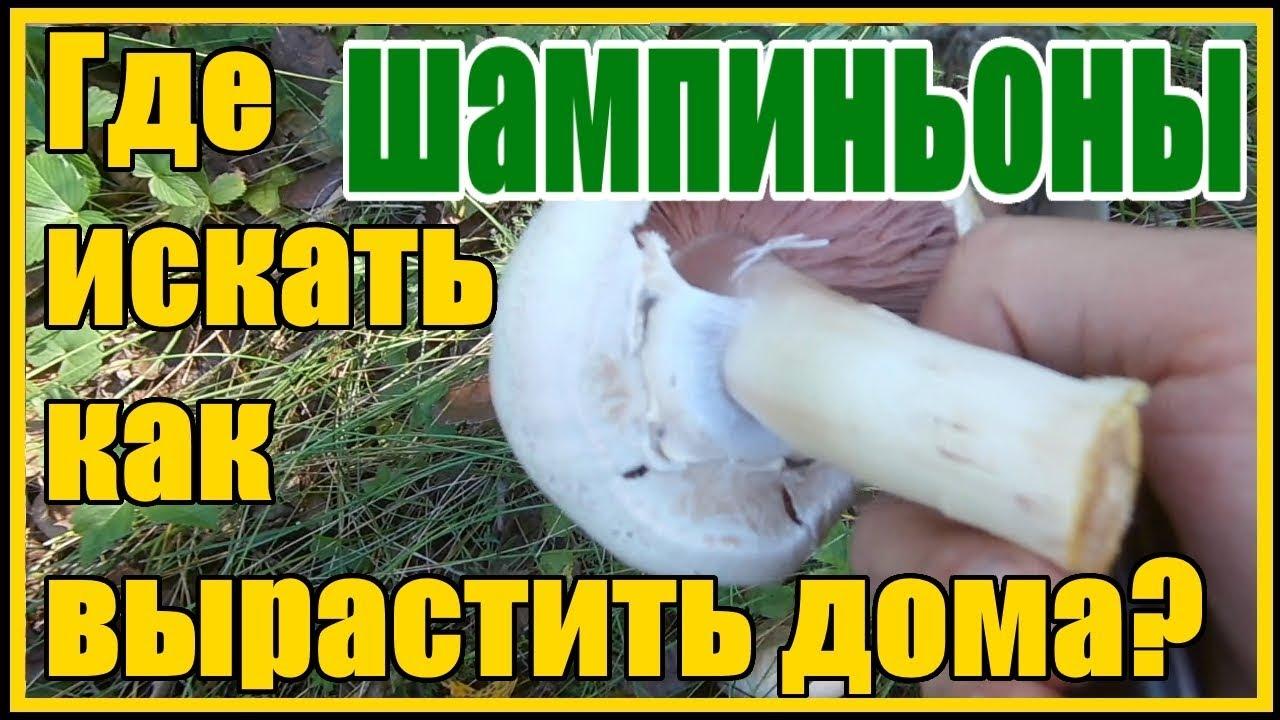 Осенние грибы Шампиньоны где искать как вырастить в домашних условиях