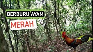 Download Mp3 Berburu Ayam Hutan  Bakekok  Dapet Besar