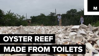 Oyster reef made from old toilets