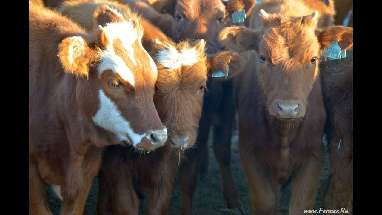 Бычки на доращивание казахские белоголовые 200-300 кг - YouTube