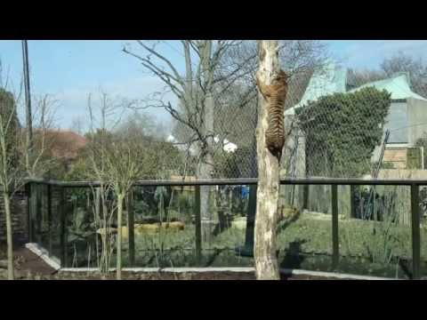 ZSL London Zoo - Tiger Territory - The feeding pole and Jae Jae