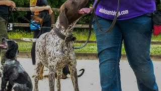 Bruno - German Shorthaired Pointer - 4 Week Residential Dog Training At Adolescent Dogs