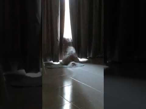 Dog wait for her owner (Bichon Frise)