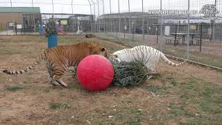 Christmas Tree Enrichment