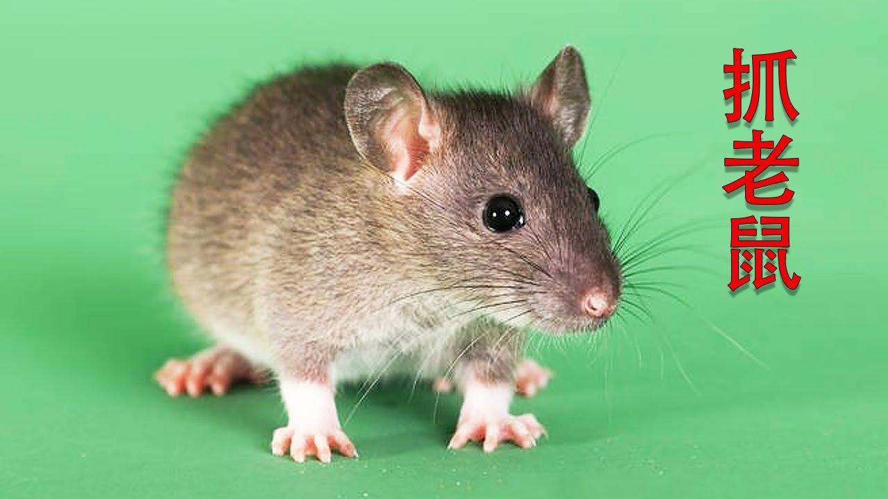 消灭老鼠千万别用药,只需2张纸,轻松抓老鼠,方法安全又健康