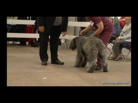 City of Birmingham - Championship Dog Show  Post Graduate Bitch