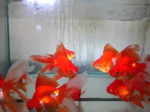 Japonais ryukin rouge 12 14 cm 669079 youtube - Comptoir poisson exotique ...