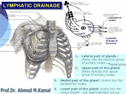 What Is Lymphatic Drainage of the Breast? with pictures