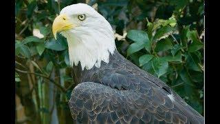 Bald Eagle vs. Golden Eagle