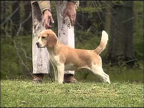 Beagle  AKC Dog Breed Series