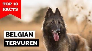 Belgian Tervuren  Top 10 Facts