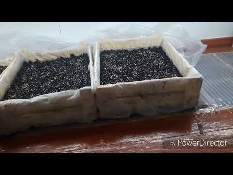 Павлония Посев семян в летний период. Paulownia sowing seeds in the summer🌱🌱🌱🌱