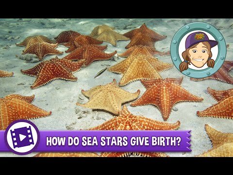 Ask Tierney - How Do Sea Stars Give Birth?