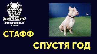 Стафф - Консультация по уходу и выбору щенка спустя год