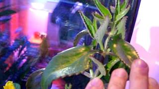 Цветущий Каланхоэ Дегремона. Flowering Kalanchoe Daigremontiana. ч.4(Отрезанная вершина с цветком и основное растение. Сюрприз., 2016-05-22T21:25:43.000Z)