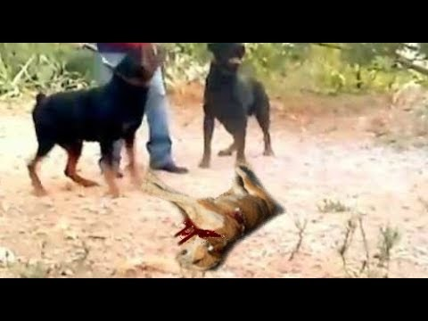 Rottweilers Attack And Kill A Dog In Front Of Poor Owners Eyes